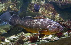 Grote baskieuwen van Promikrops de roofdiervissen Stock Foto