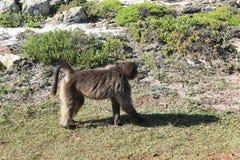 Grote Bavianen op de kant van de weg op de Reis van het Kaapschiereiland in Cape Town, Zuid-Afrika Stock Afbeelding