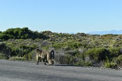 Grote Bavianen op de kant van de weg op de Reis van het Kaapschiereiland in Cape Town, Zuid-Afrika Royalty-vrije Stock Afbeeldingen
