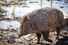 Grote beer in de modder Stock Afbeelding