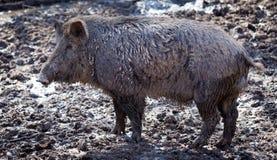 Grote beer in de modder Royalty-vrije Stock Fotografie