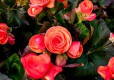 Grote Begonia Royalty-vrije Stock Foto