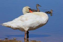 Grote Bertha Swan stock fotografie