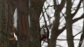 Grote bevlekte specht die (Dendrocopos-majoor) op hout kloppen stock footage