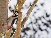 Grote bevlekte spechtvogel in zwart, wit, karmozijnrood rood flard Stock Foto's