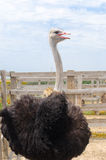 Grote binnenlandse struisvogel Royalty-vrije Stock Fotografie