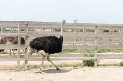 Grote binnenlandse struisvogel Stock Afbeeldingen