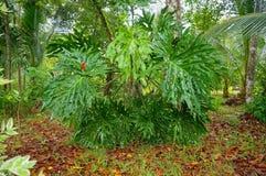 Grote bladeren van kanten boom philodendron stock fotografie