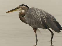 Grote blauwe de aardoceaan van de reigervogel royalty-vrije stock foto