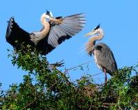 Grote Blauwe Heron- Royalty-vrije Stock Foto's