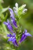 Grote Blauwe Lobelia - Lobelia royalty-vrije stock afbeeldingen