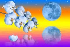 Grote blauwe maan en tak van de orchideeënbloemen Stock Afbeelding