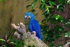Grote blauwe mooie papegaai Stock Foto