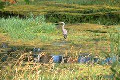 Grote Blauwe Reiger in de Zomermoerasland stock afbeeldingen