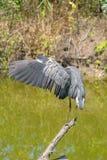 Grote Blauwe Reiger dichte omhooggaand met zijn uit uitgespreide vleugel royalty-vrije stock foto's