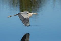Grote blauwe reiger die boven het water vliegen Stock Fotografie