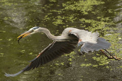 Grote blauwe reiger die met een vis in zijn rekening, Florida vliegen Stock Afbeelding