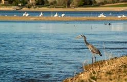 Grote Blauwe reiger die op oever van het meer vissen Stock Foto's