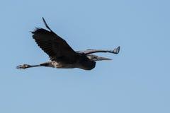 Grote Blauwe Reiger die over meer vliegen Royalty-vrije Stock Fotografie