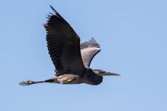 Grote Blauwe Reiger die over meer vliegen Royalty-vrije Stock Foto's