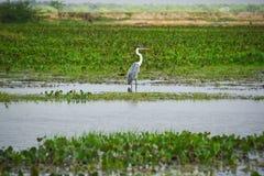 Grote blauwe reiger die zich in het moeras bevindt Royalty-vrije Stock Fotografie