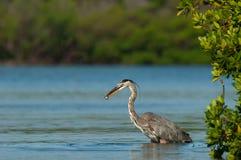 Grote blauwe reiger feedingin groene mangroven in Estero-Overladen Baai, stock afbeelding