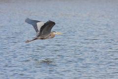 Grote Blauwe Reiger Flys over Water Royalty-vrije Stock Afbeeldingen