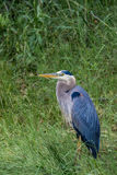 Grote blauwe reiger in gras stock foto