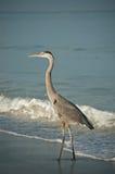 Grote Blauwe Reiger op een Strand van de Kust van de Golf met Golven Stock Foto's
