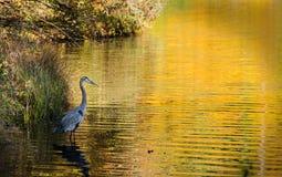 Grote Blauwe Reiger op Gouden Meer, Sandy Creek Park Athens GA Stock Foto's