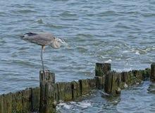 Grote Blauwe Reiger op Zeedijk stock foto's