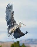 Grote blauwe reiger tijdens de vlucht Stock Fotografie