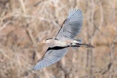 Grote Blauwe Reiger tijdens de vlucht met volledig Uitgespreide Vleugels Stock Fotografie