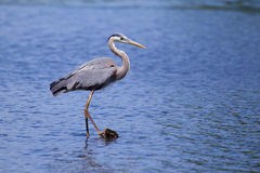 Grote Blauwe Reiger visserij stock foto