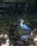 Grote blauwe reiger visserij Royalty-vrije Stock Foto's