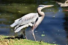 Grote Blauwe Reiger Grote Wadende Vogel stock afbeelding