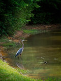 Grote Blauwe Reiger in water visserij Stock Afbeeldingen