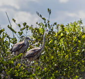 Grote Blauwe Reigerjongeren in het nest Royalty-vrije Stock Afbeeldingen