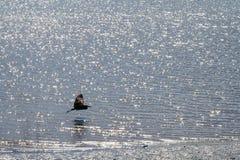 Grote blauwe reigervliegen dicht bij het water; stock fotografie