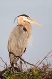 Grote Blauwe Reigervogel op nest Stock Foto's