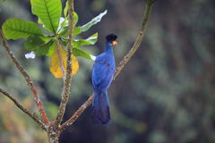 Grote Blauwe Turaco Royalty-vrije Stock Afbeeldingen