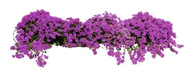Grote bloeiende het uitspreiden tropische struik van purpere Bougainvillea Royalty-vrije Stock Afbeeldingen