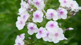 Grote bloeiwijzen van witte variëteitsflox stock videobeelden