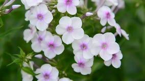 Grote bloeiwijzen van witte variëteitsflox stock footage