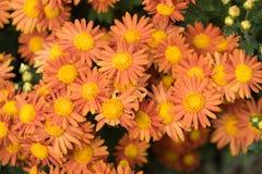 Grote bloemen van een groot aantal oranje chrysanten op een groene achtergrond van bladeren Stock Fotografie