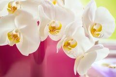 Grote bloemen van een wit gevoelig orchideeclose-up Royalty-vrije Stock Afbeeldingen