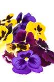 Grote bloemenaltviool. Stock Afbeeldingen