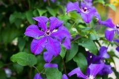 Grote Bloemenclematissen Honora Growing In Garden stock afbeeldingen