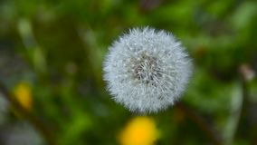 Grote Blowball in Tuin 2 stock footage