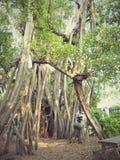 Grote bomen Royalty-vrije Stock Afbeelding